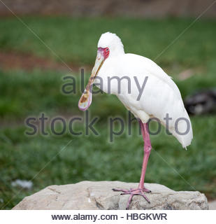 African Spoonbill, Platalea alba - Stock Photo