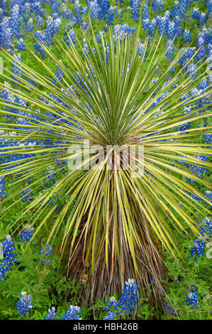 Texas bluebonnet with yucca, Inks Lake State Park, Texas - Stock Photo