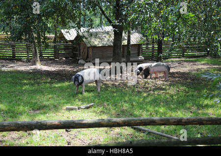 Sus scrofa domesticus, Swabian-Hall swine