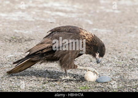 striated caracara (Phalcoboenus australis) adult feeding on penguin egg, Falkland Islands - Stock Photo