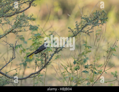 Pied Wagtail (Motacilla alba) perched on a branch - Stock Photo