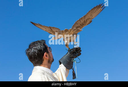 man holding a saker falcon oh his arm against a blue sky - Stock Photo