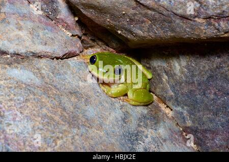 A Centralian Tree Frog (Litoria gilleni) crouched on a boulder in Ormiston Gorge, Northern Territory, Australia - Stock Photo