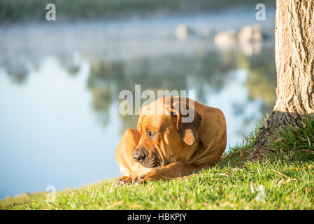 Boerboel dog by tree on river bank - Stock Photo