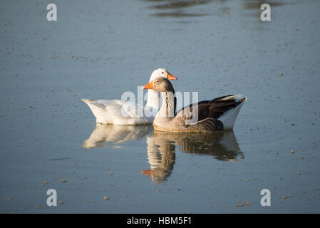 Two geese on river - Stock Photo