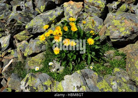 alpine flower, flower, - Stock Photo