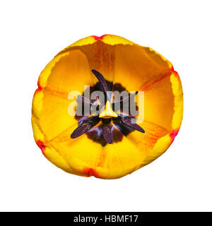 Yellow Tulip Flower Isolated on White - Stock Photo