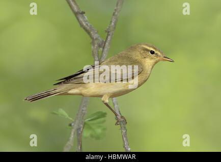 Willow Warbler - Phylloscopus trochilus - juvenile - Stock Photo