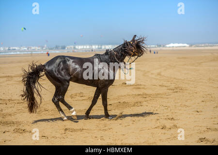 beautiful dark arabian stallion galloping - Stock Photo