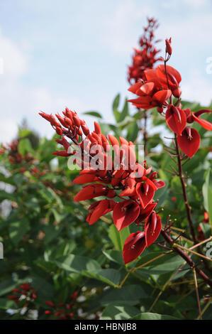 Erythrina crista-galli, Coral tree - Stock Photo