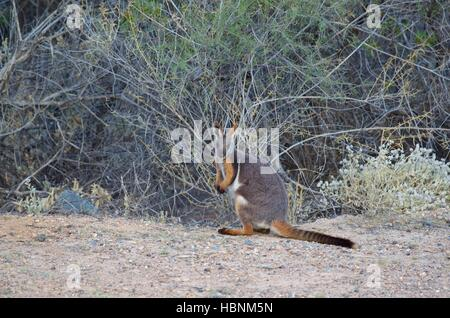 A Yellow-footed Rock Wallaby (Petrogale xanthopus) along a road clearing in Arkaroola Wilderness Sanctuary, South - Stock Photo