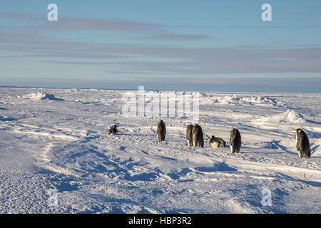 Adult Emperor Penguins return from the sea - Stock Photo