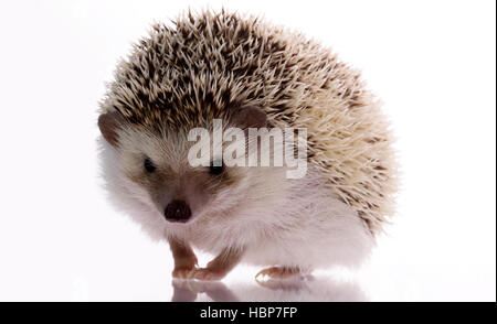 Little hedgehog on a white background, looking up with a smile and a reproach. Funny lovely pet - Stock Photo