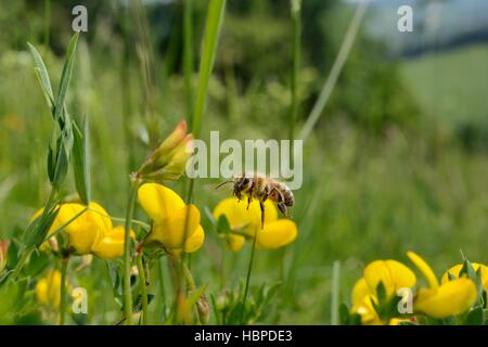 Honeybee (Apis mellifera) flying to Birdsfoot trefoil (Lotus corniculatus) flowers in a traditional hay meadow, - Stock Photo