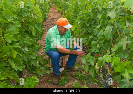 A farmer in the vineyard, Ribeira Sacra, Sober, Lugo province, Region of Galicia, Spain, Europe - Stock Photo