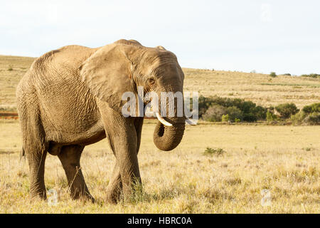 African Elephant Eating grass in a field - Stock Photo