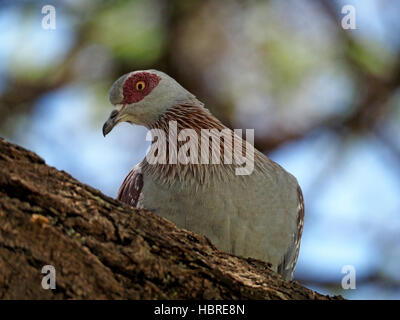 Portrait of Speckled Pigeon (Columba guinea) with bare red skin around eyes and striated pink neck at Lake Baringo - Stock Photo