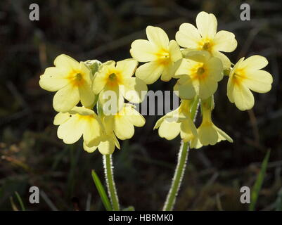 Cowslip in the backlight - Stock Photo