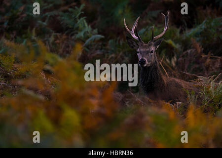 young red deer stag portrait - Stock Photo