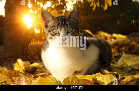 young domestic cat, black tabby white, lies in the sunset in autumn leave - Stock Photo