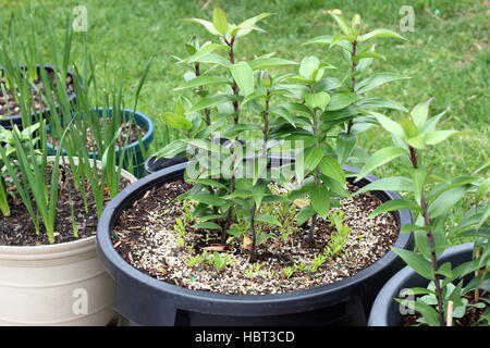 Growing Oriental Lilium or Lilies in a pot - Stock Photo