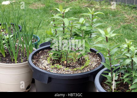 Growing Oriental Jonquils and Lilium or Lilies in a pot - Stock Photo
