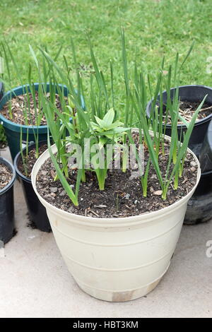 Growing Jonquils and Oriental Lilium or Lilies in a pot - Stock Photo