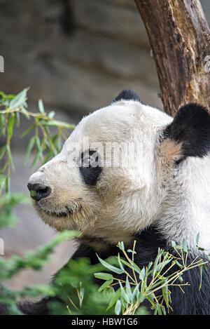 giant panda eating green  bamboo - Stock Photo