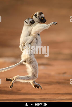 Verreaux's Dancing Sifaka (Propithecus verreauxi) mother and baby - Stock Photo