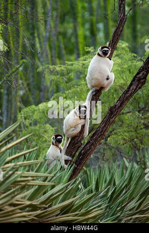 Verreaux's Dancing Sifaka (Propithecus verreauxi) in Spiny Forest - Stock Photo