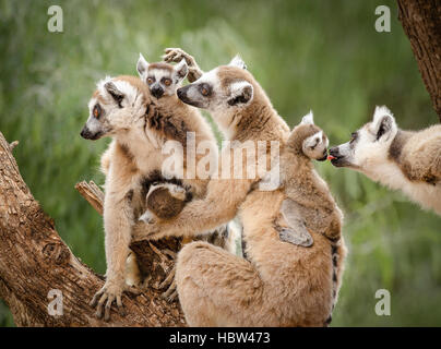 Ring-tailed lemur (Lemur catta) family - Stock Photo