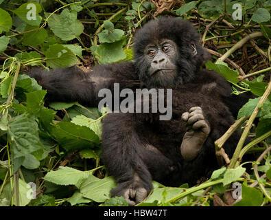 Mountain Gorilla (Gorilla beringei beringei) infant in bed of leaves - Stock Photo