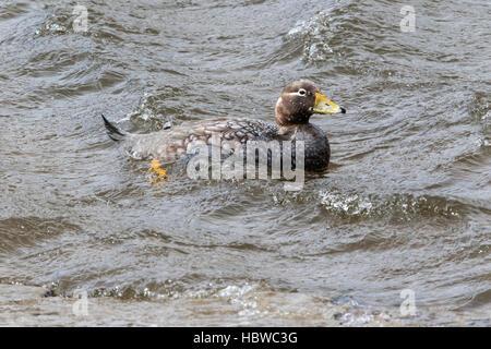 Falkland islands flightless steamer duck (Tachyeres brachypterus) adult female swimming on lake, Falkland Islands - Stock Photo