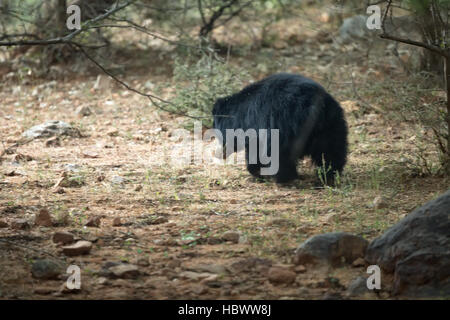 Big beautiful sloth bear male hunt termites, wild animal in the nature habitat, India, melursus ursinus - Stock Photo