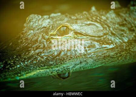 alligator closeup at the zoo aquarium - Stock Photo