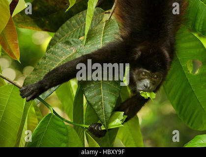 Mantled Howler Monkey (Alouatta palliata) eating a leaf, Costa Rica - Stock Photo