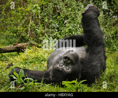Mountain Gorilla (Gorilla beringei beringei) yoga pose - Stock Photo