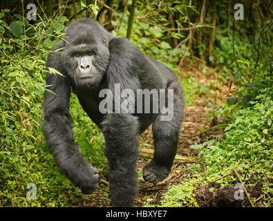 Charging blackback Mountain Gorilla (Gorilla beringei beringei) - Stock Photo