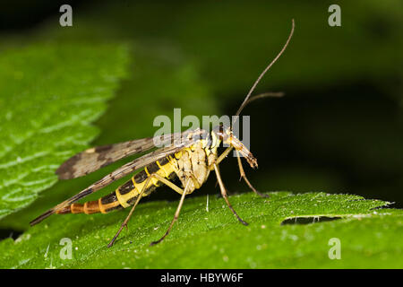 Common Scorpionfly (Panorpa communis), male - Stock Photo