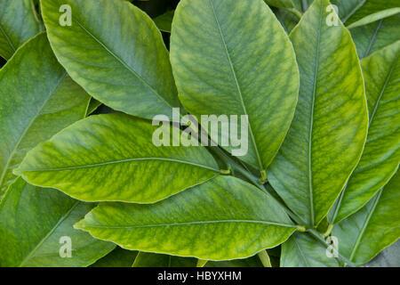 Young lemon leaves, branch 'Citrus limon'. - Stock Photo
