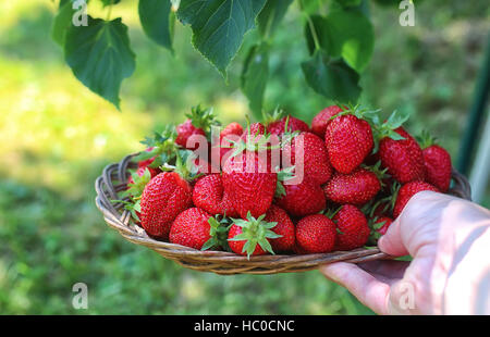 strawberries in his outstretched hand - Stock Photo
