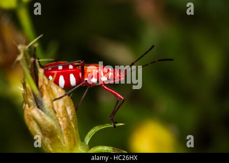 The Red Beetle in the garden - Stock Photo