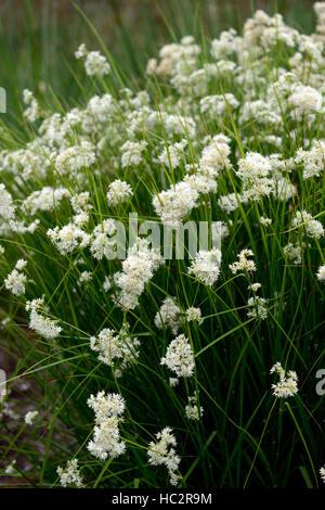 luzula nivea snowy woodrush white flower flowers flowering showy plant perennial perennials RM Floral - Stock Photo