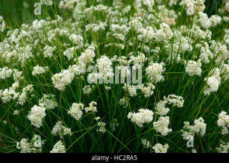 luzula nivea snowy woodrush white flower flowers flowering showy plant perennial perennials RM Floral - Stock Photo