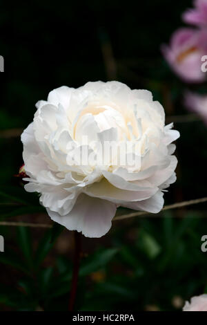 paeonia lactiflora kelways glorious peony peonies white double flower flowers flowering perennial bed border scented - Stock Photo