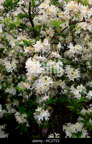 rhododendron luteum hybrid white flower flowers flowering ericaceous shrub spring bloom blooming RM Floral - Stock Photo