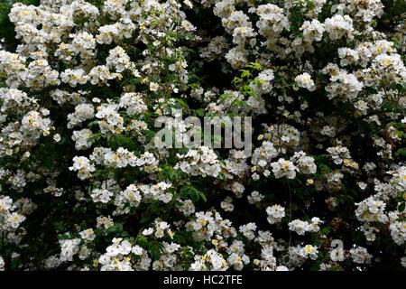 rosa rambling rector rose flower white rambler climber shrub shrubs color colours flowering flowers fragrant scented - Stock Photo
