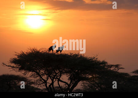 Two African Secretary Birds (sagittarius serpentarius) in Treetop During Sunrise - Stock Photo