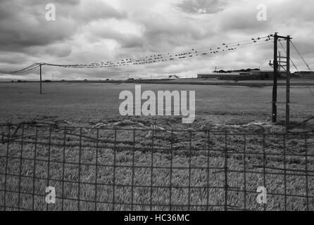 Flock of Wood Pigeons on telephone wires, Whitburn - Stock Photo