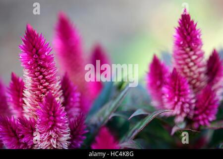 pink celosia argentea, plumed cockscomb - summer flowering annual plant Jane Ann Butler Photography JABP1746 - Stock Photo